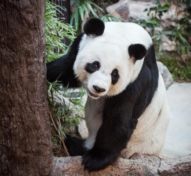 タイ動物園の非常に大きなパンダ