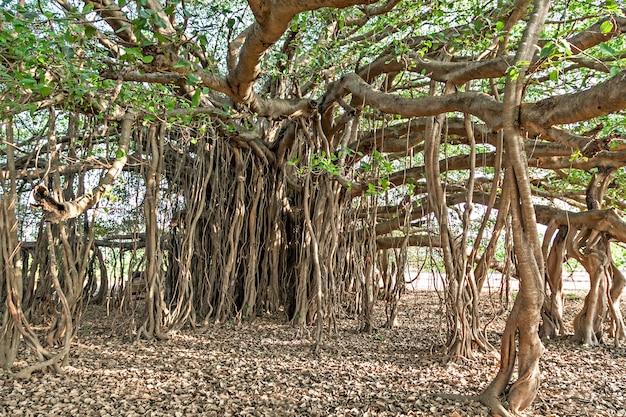 Банановое дерево