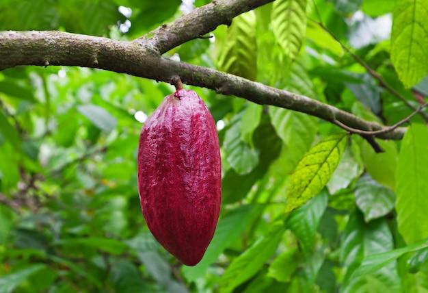 Какао дерево со стручками