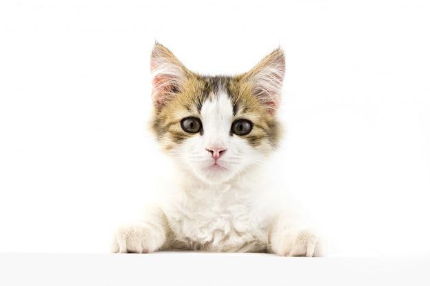 正面を見て若い猫。碑文の下に置く