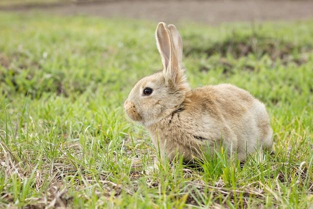 花の牧草地のウサギ。牧草地の野生のウサギをクローズアップ