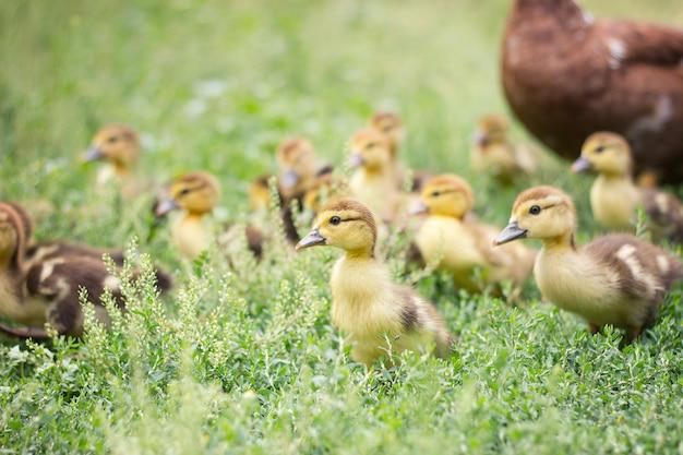 緑の芝生、農業の小さなアヒルの子