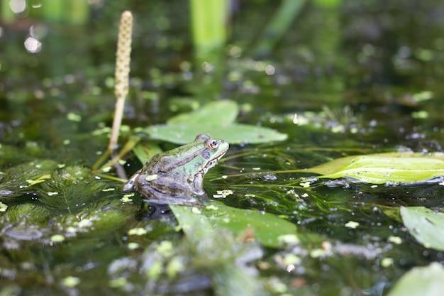 ヒキガエルをクローズアップ。川の表面の野生動物