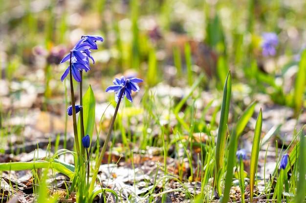 Буш синих подснежников ранней весной. весенний лес с первыми цветами. первые цветы весны