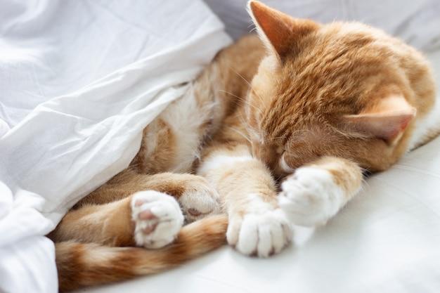 Рыжий кот спит в белой кровати, усталый кот дремлет в своей постели. кот спит в кроватке