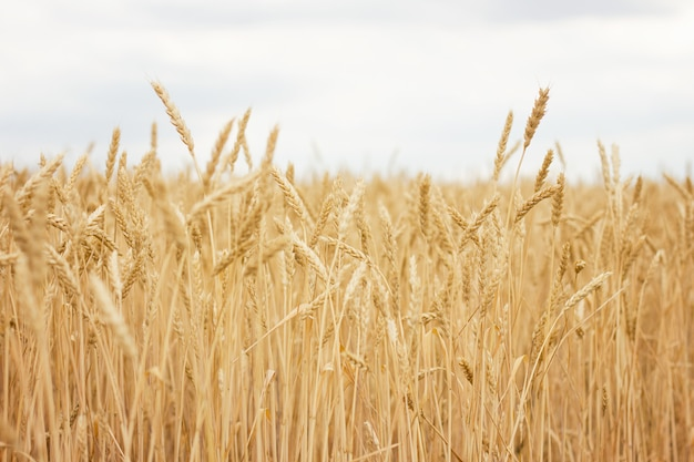 Пшеничное поле крупным планом, концепция фермера, урожай