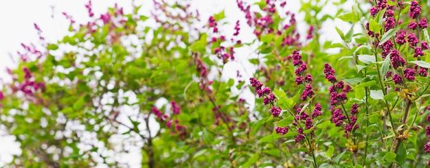 春に咲くライラックのバナー。碑文のための場所で花春の背景。