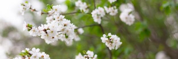 春の開花木のパノラマ。コピースペースを持つ木の枝に白い花。