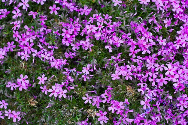 紫色の花のクローズアップの背景。今年の春の自然な自然の花の背景。ホームガーデニング