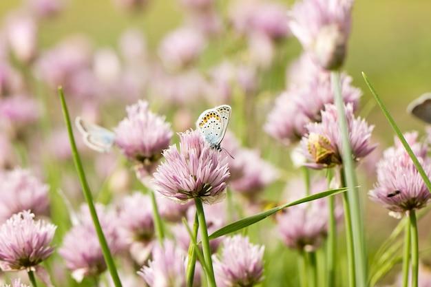 ピンクの花、春の季節に青い蝶
