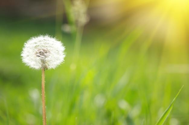 太陽の光と自然の中のタンポポ