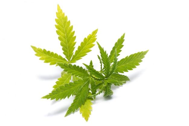緑色の大麻の小枝、分離、違法薬物