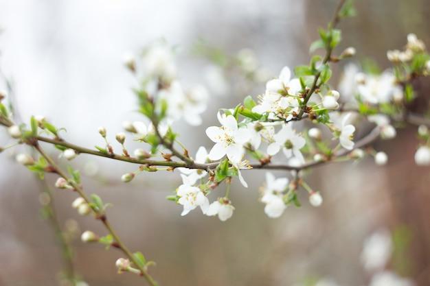 小枝開花桜の小枝、自然の春の背景、桜の花