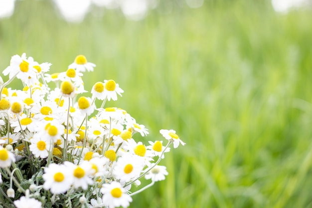 Букет из полевых ромашек, крупным планом, естественный фон