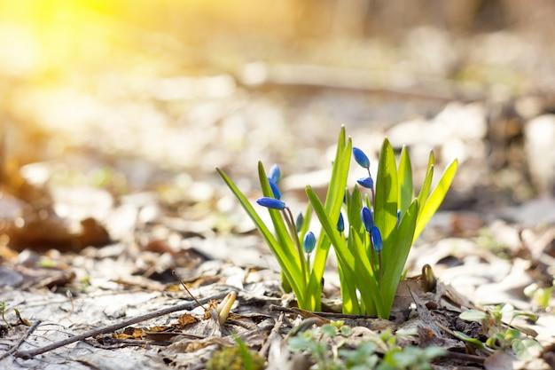 Синие подснежники в весеннем лесу, первые цветы весны, крупный план, с мягким солнечным светом