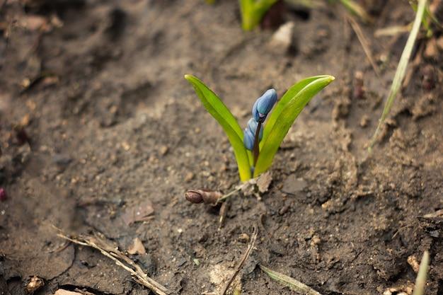Голубой цветок - подснежник. первые цветы весны, шафран весенний в пушистом снегу