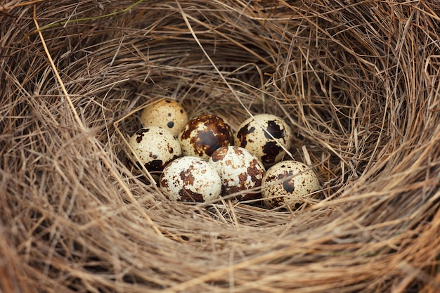 ウズラの卵と巣。