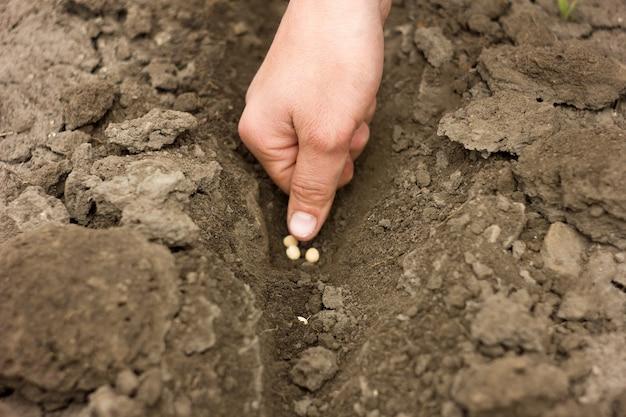 エンドウの種、春の作物、農業を植える手