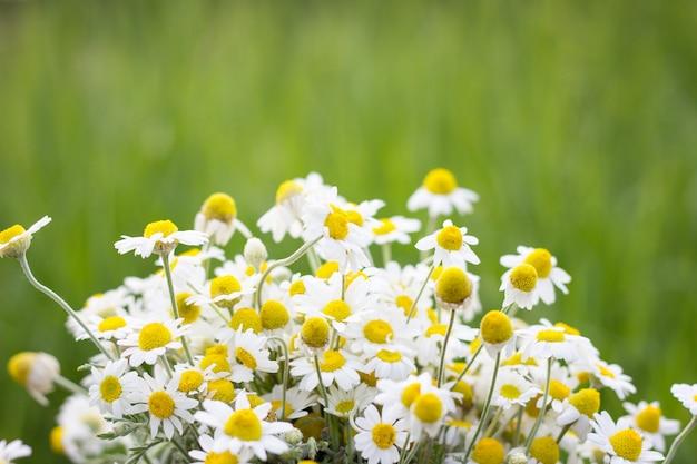 Букет полевых ромашек, крупным планом, естественный фон