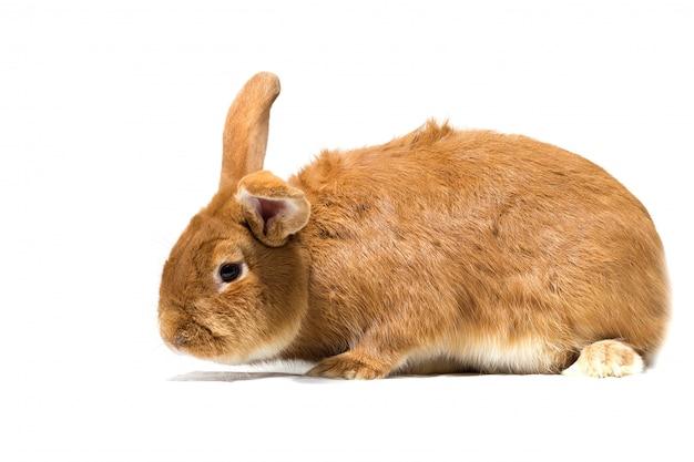 大きな赤いウサギ