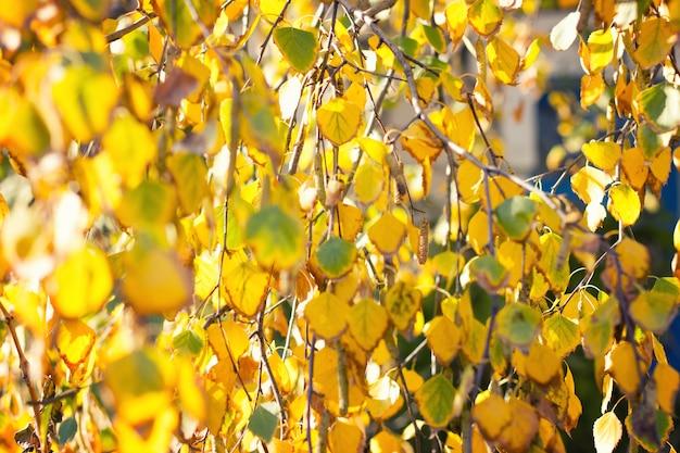 Желтая береза близко