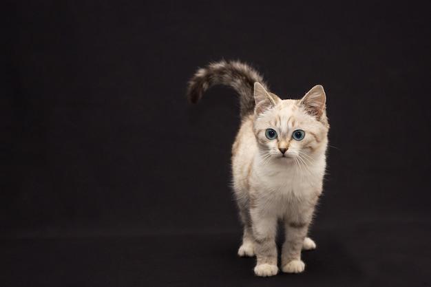 黒い背景に青い目を持つ灰色の毛皮のような猫