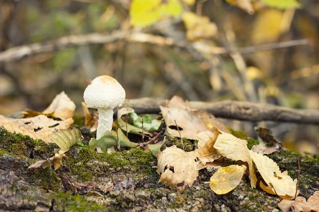 Гриб в осеннем лесу на дереве. сбор грибов. копировать пространство