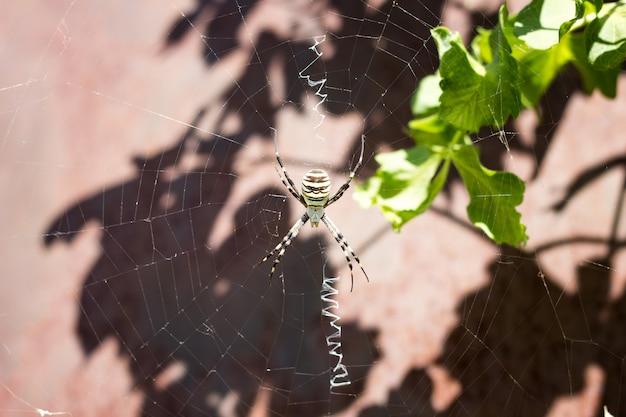 自然の中のウェブ上の大きなクモのクローズアップ