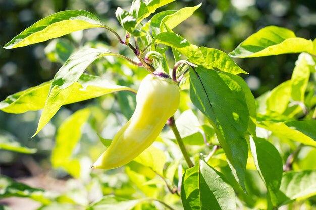 ブッシュのピーマン、クローズアップ、収穫、環境に優しい製品