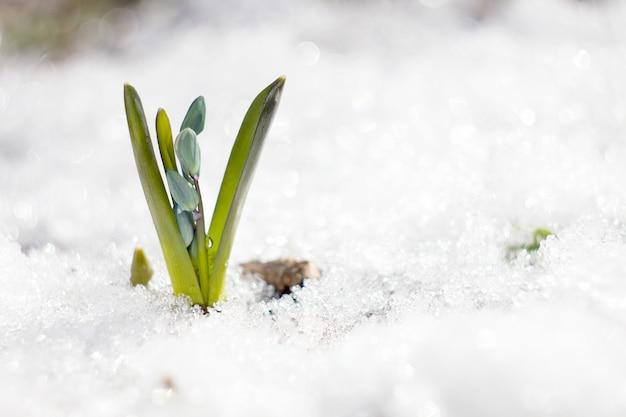 Голубые подснежники, первый цветок весны, хрупкий голубой цветок