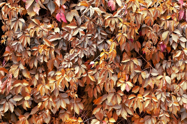 野生ブドウ、緑の背景、自然の背景の茶色の葉