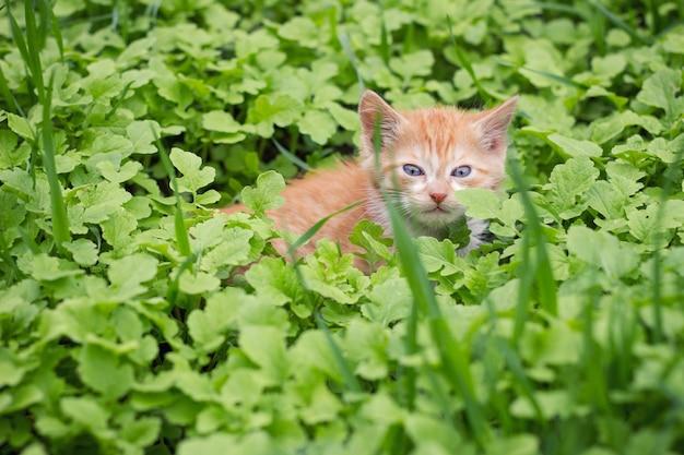 Рыжий котенок в зеленой траве, домашние животные