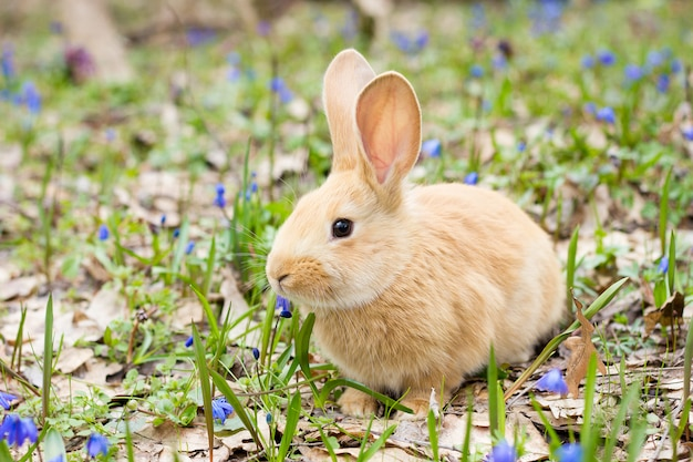 少しふわふわの赤いウサギ、イースターのウサギ、牧草地のうさぎと青い春の花の空き地