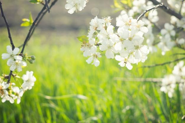 桜の開花の小枝
