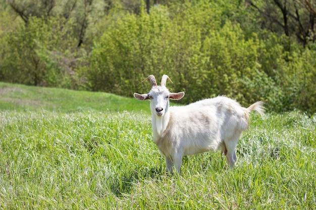 緑の牧草地に白いヤギ