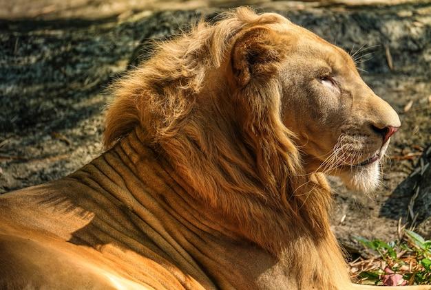 Протрейт льва