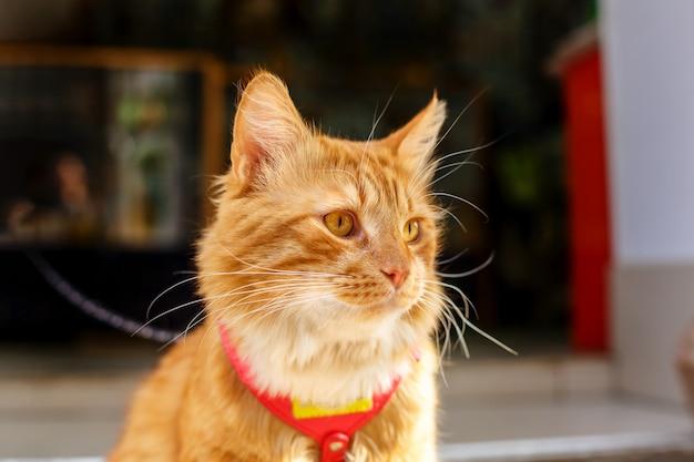 座っている周りの美しい大きな赤い猫