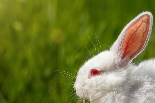 緑色の背景で白ウサギのクローズアップ