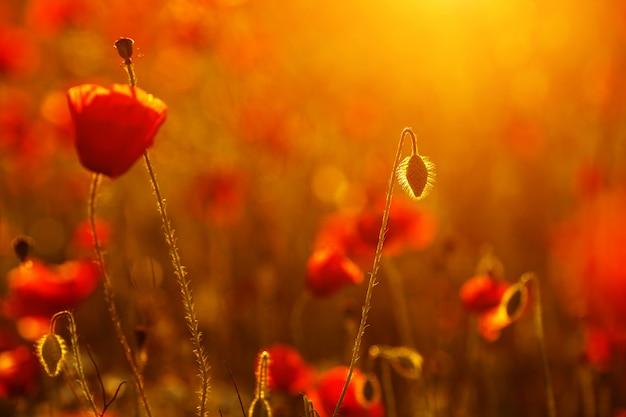 フィールドの夕日のクローズアップで美しい赤い緋色のポピー