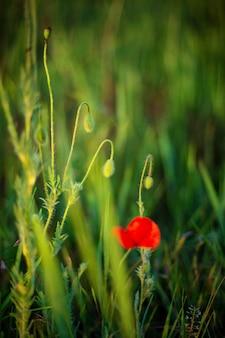 フィールドに赤いケシと緑の芽