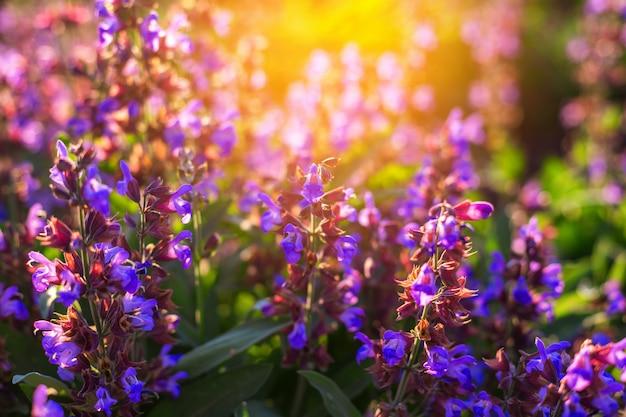 日没時の光線でライラック色の花のフィールド