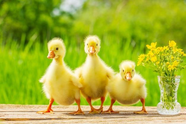 Три маленьких пушистых желтых гусят на фоне природы