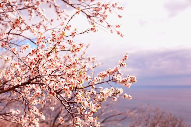 Красивое цветение абрикоса на фоне неба, тонирование