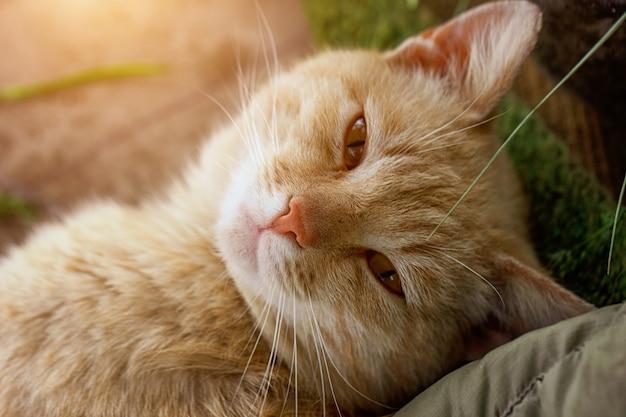 自然の中でかわいい赤猫の肖像画