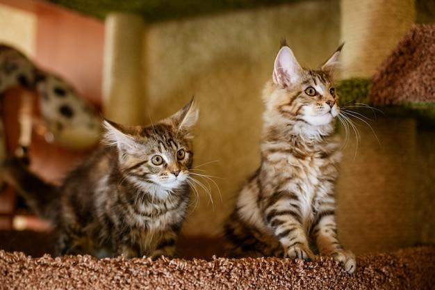 Красивые породистые котята позируют перед камерой, мей кун.