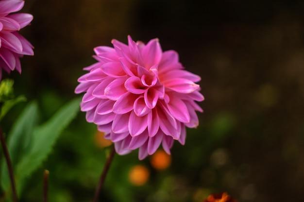 自然の背景に美しい大きなダリアピンクのクローズアップ