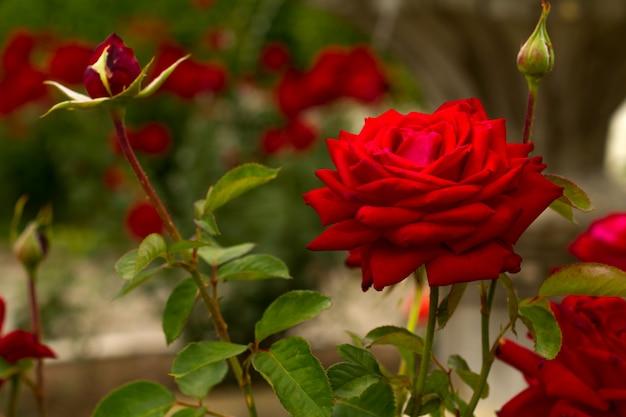 緑の自然の背景に美しいピンクのバラのクローズアップ
