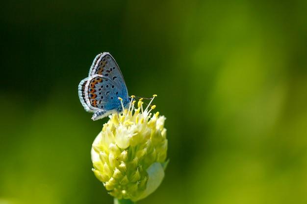 花マクロの上に座ってアドニス青い蝶