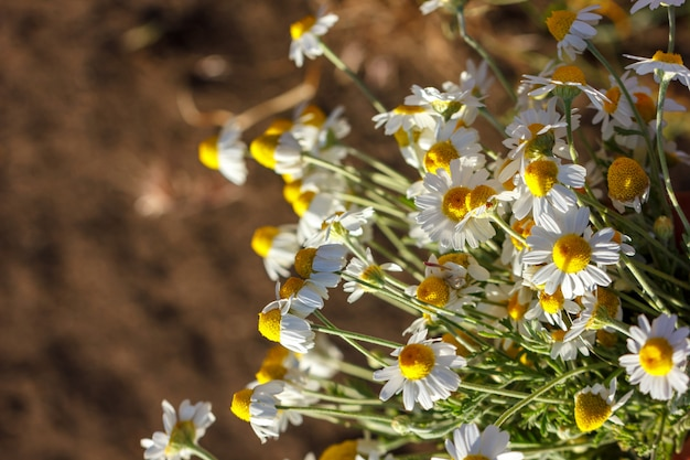 晴れた日にヒナギクの美しい花束