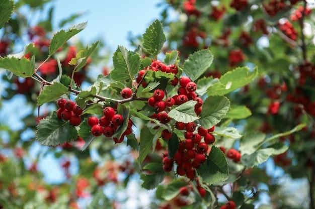Красные ягоды боярышника